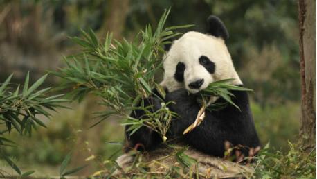 Rota Para Descobrir O Urso Panda